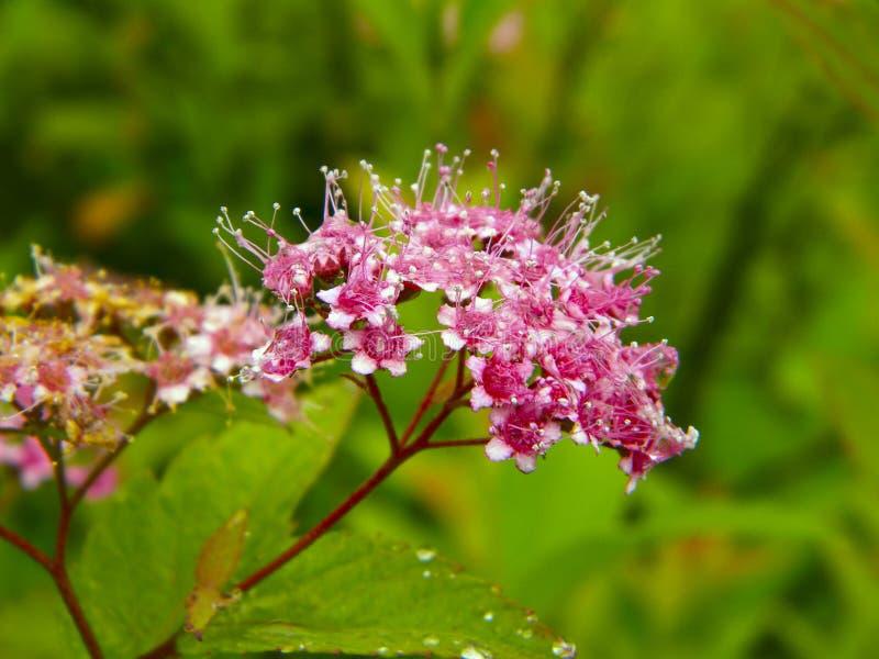 Rosa Blume Spiraea stockbild