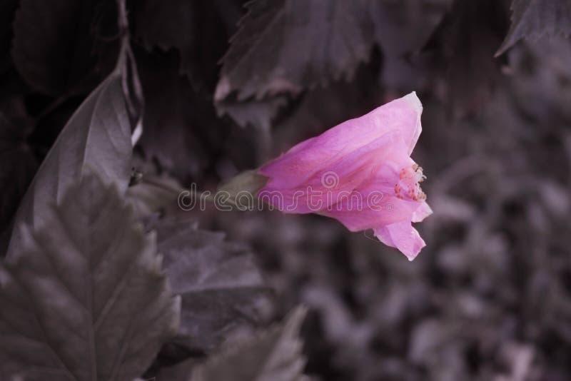Rosa Blume umgeben durch Blätter stockfotos