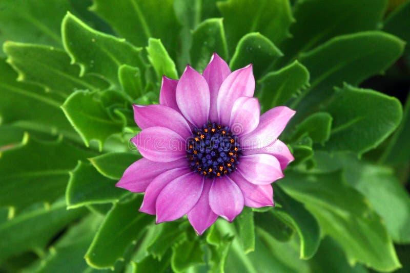 Rosa Blume von einer saftigen Anlage stockbild