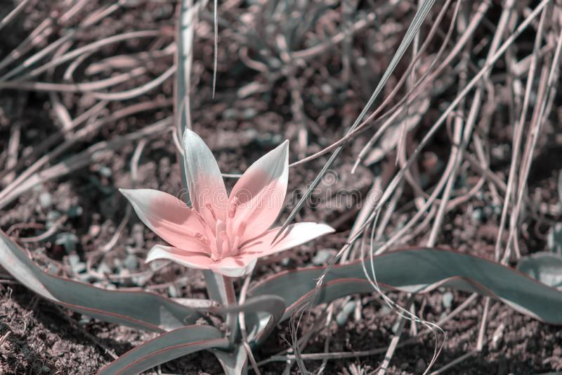 Rosa Blume von Tulipa Tarda, von später wilder Tulpe oder von tarda mit Blütenstand von den rosa Blumen in voller Blüte, die in e stockbild