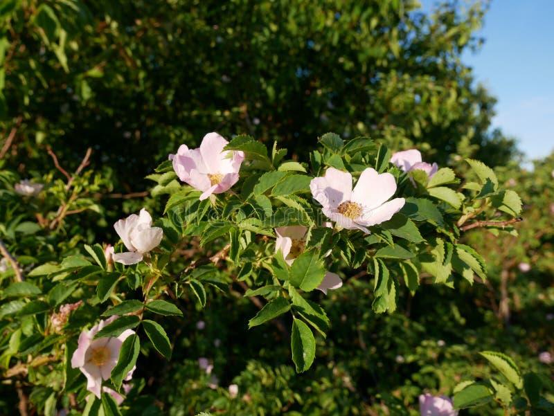 Rosa Blume Rosa wildes Rosafarbenes oder Hundrose blüht mit Blättern stockbilder