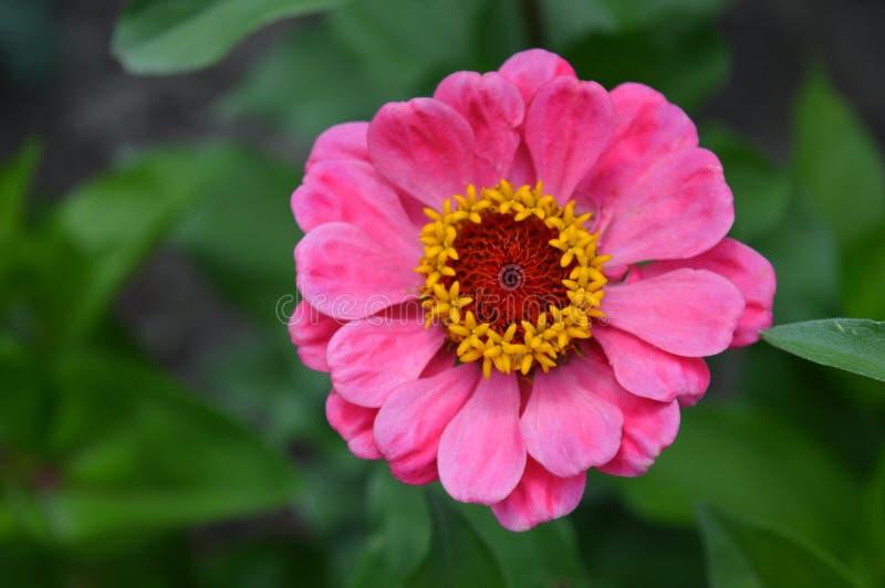 Rosa Blume, Zinniaabschluß herauf Art lizenzfreie stockbilder