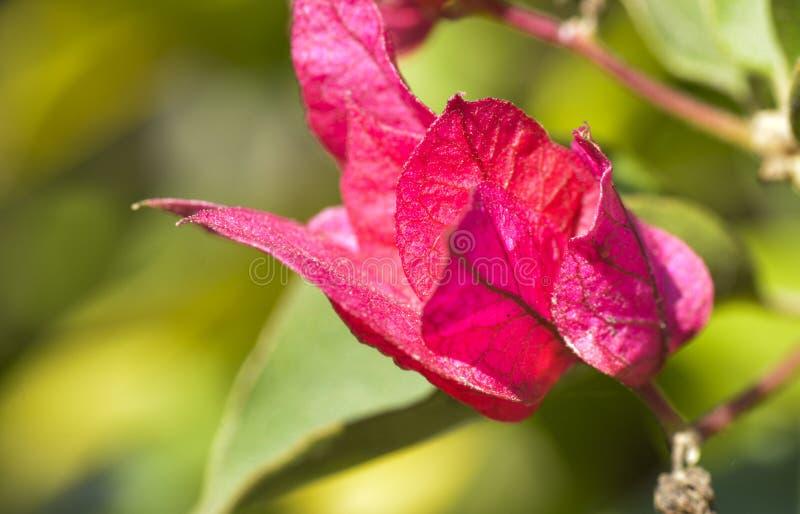 Rosa Blumen lizenzfreie stockbilder