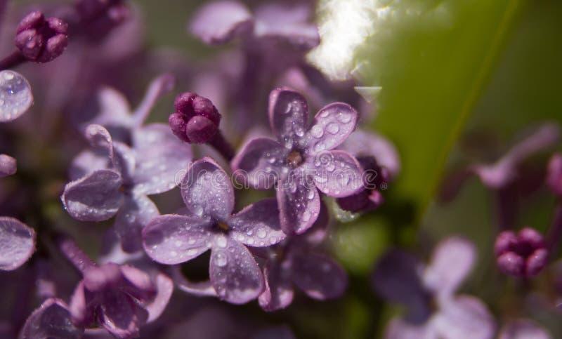 Rosa Blumen auf den fast geblühten Niederlassungen stockfoto