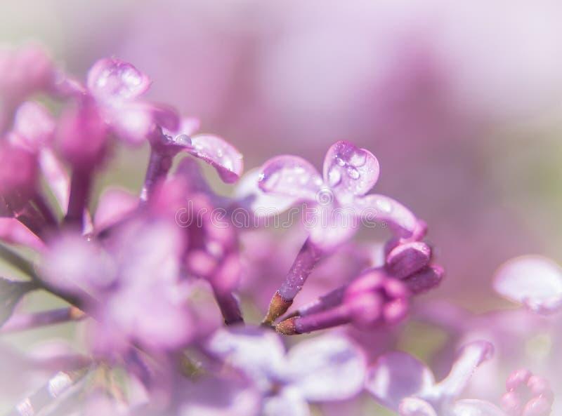 Rosa Blumen auf den fast geblühten Niederlassungen stockbild