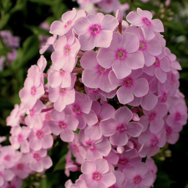 Rosa Blumen auf der hohen Linie stockbilder