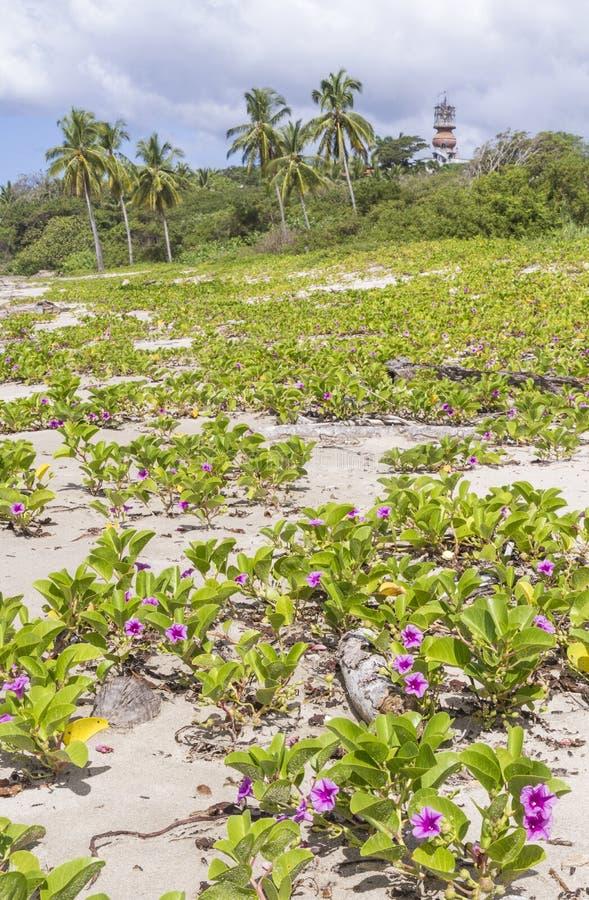 Rosa Blumen auf Playa Guiones lizenzfreie stockbilder