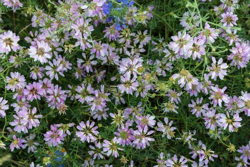 Rosa Blumen in der obenliegenden Draufsicht der Wiese stockfoto