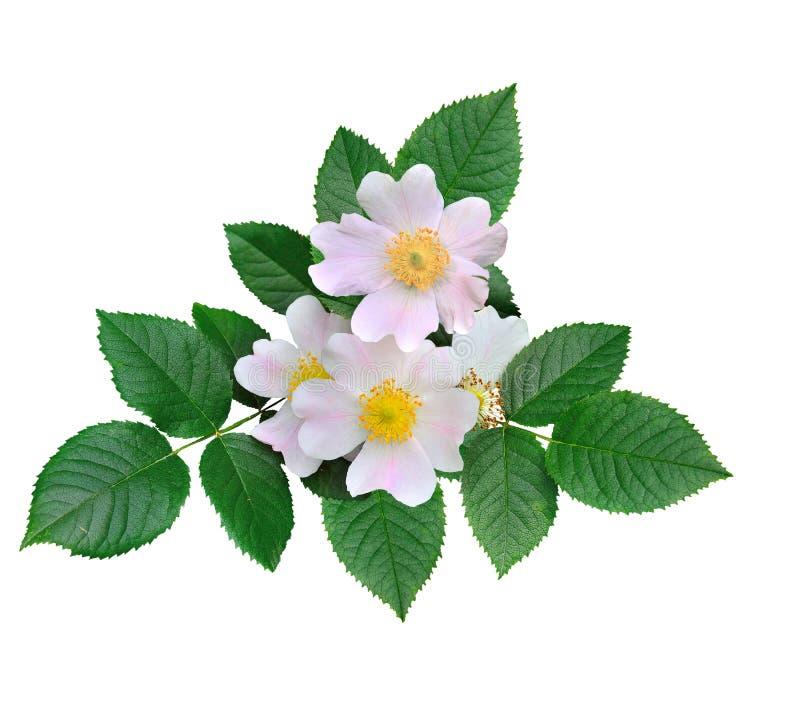 Rosa Blumen der wilden Hagebutte lokalisiert auf weißem Hintergrund stockbilder