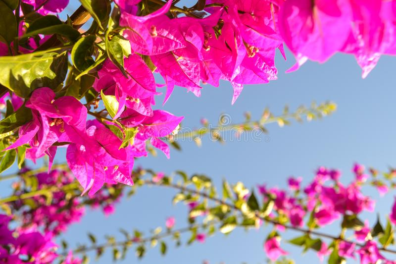 Rosa Blumen gegen den blauen Himmel lizenzfreie stockfotos