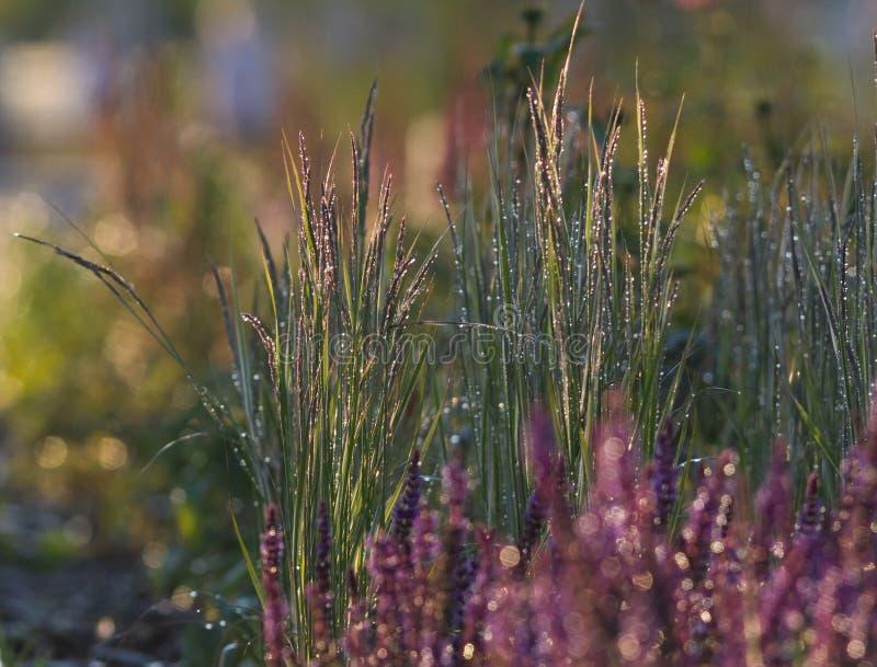 Rosa Blumen im nassen grünen Gras durch das Sonnenlicht stockfotos
