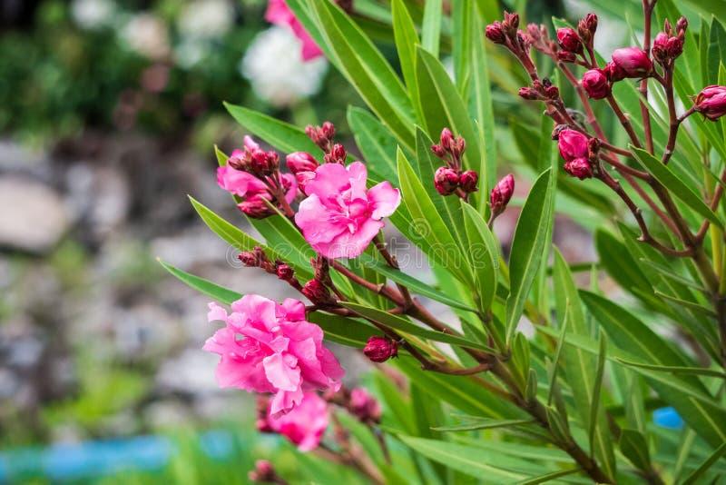 Rosa Blumen immer schön lizenzfreies stockbild