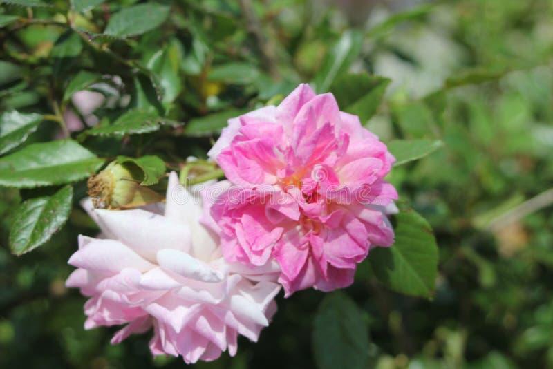 Rosa Blumen nahe gr?nem See in der T?rkei stockfotografie