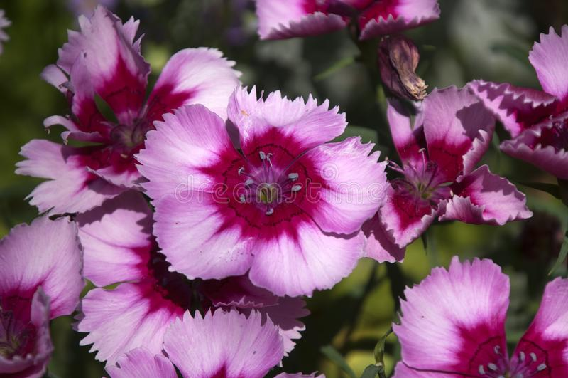 Rosa Blumen süßer William-Anlage lizenzfreies stockbild