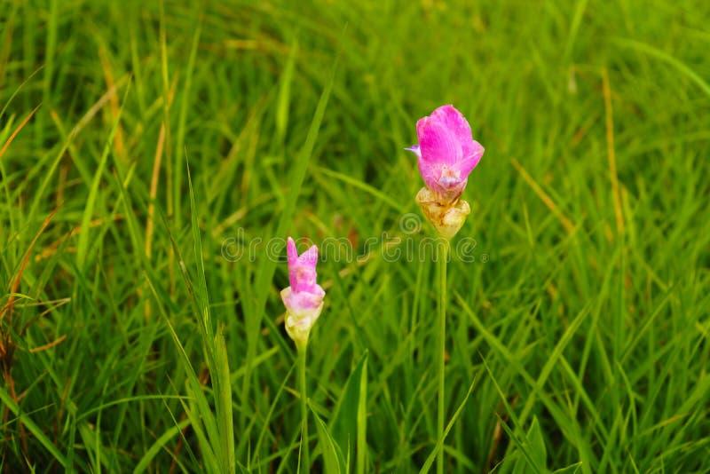 Rosa Blumen Siam Tulip Schönes Feld der Blume in nationalem PA lizenzfreie stockfotografie