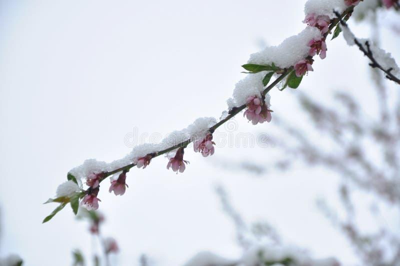 Rosa Blumen und junge grüne Blätter auf einem Pfirsichbaumast unter Schnee stockfoto