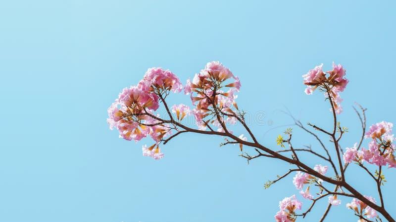 Rosa Blumen von rosa Tecoma oder von rosigem Trompetenbaum Tabebuia-rosea auf Baumast gegen hellblauen Himmelhintergrund stockbild