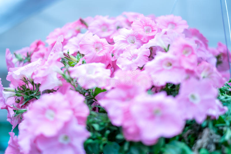 Rosa Blumenblätter lizenzfreies stockbild