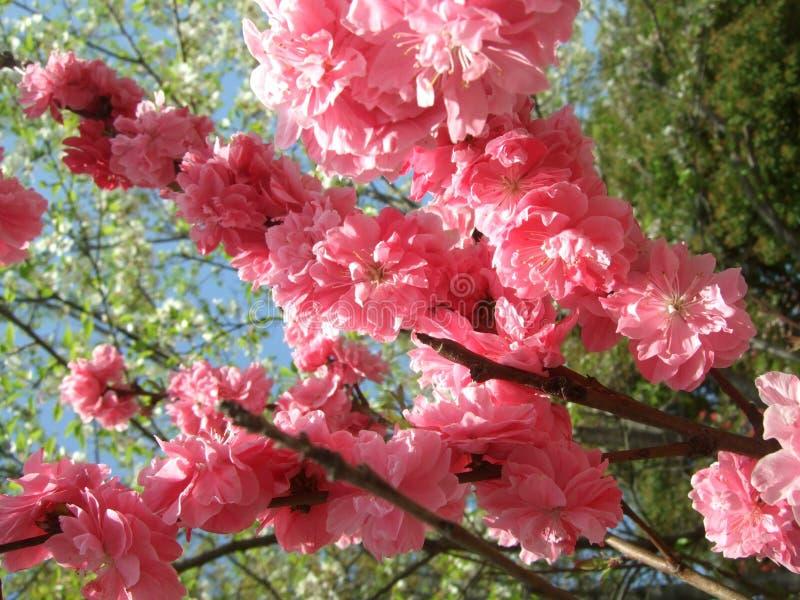 Rosa Blumenfrühling stockfoto