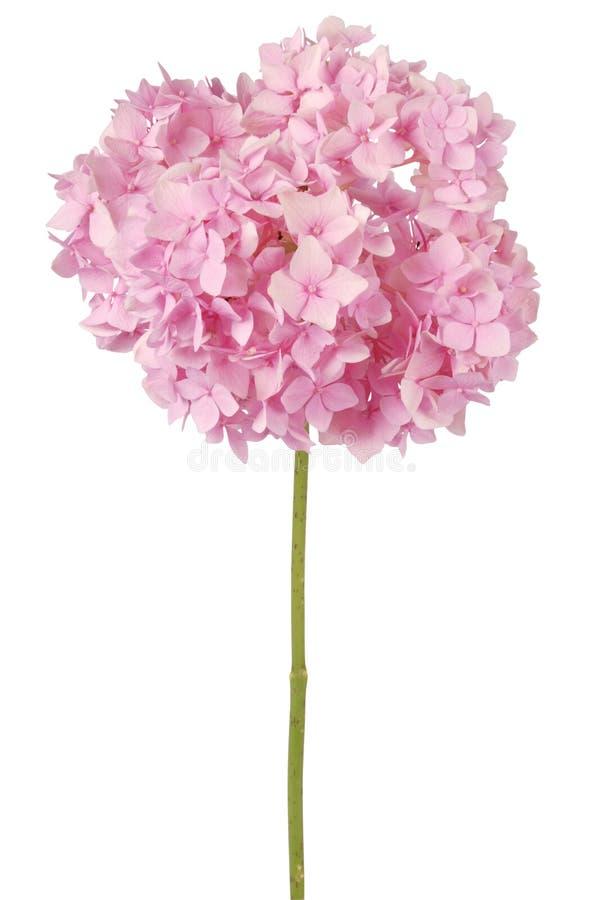 Rosa Blumenhortensie (Beschneidungspfad) stockfotografie
