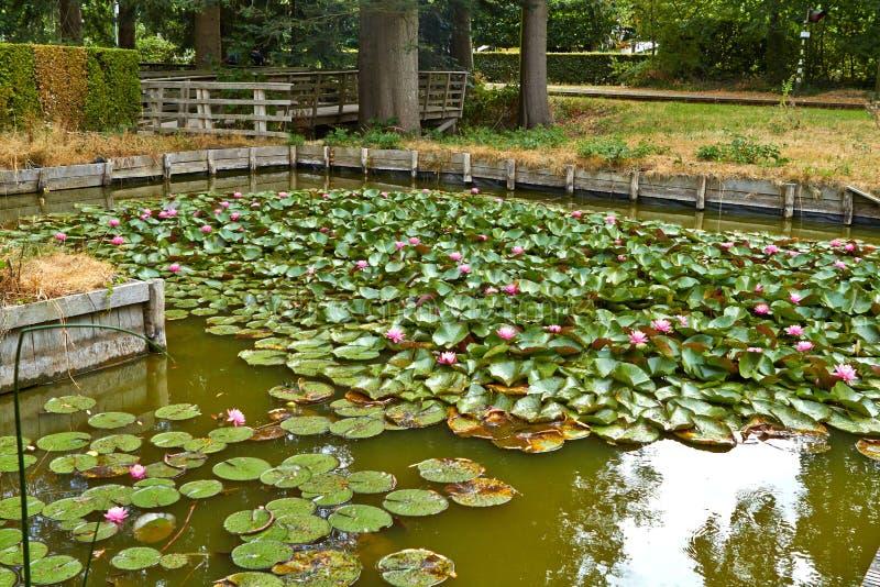 Rosa Blumenlotosseerose mit den Blättern, die auf das Wasser schwimmen Die Niederlande Juli stockbilder