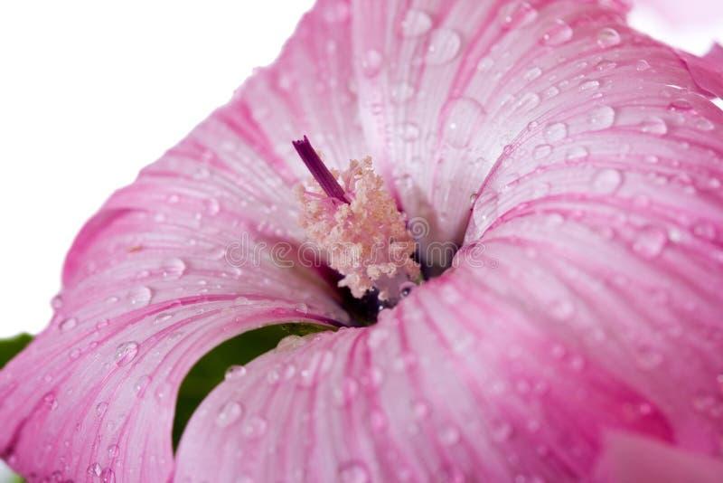 Rosa Blumenwassertropfen stockfotografie