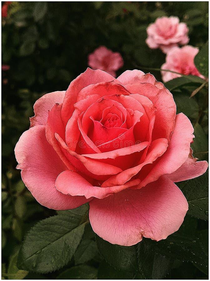 Rosa bonita imagens de stock royalty free