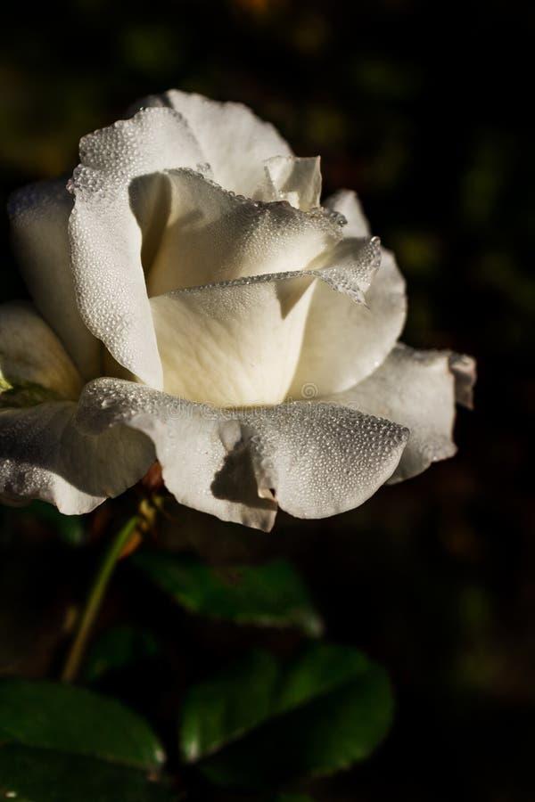 Rosa bonita das pétalas do close-up com gotas da água imagens de stock