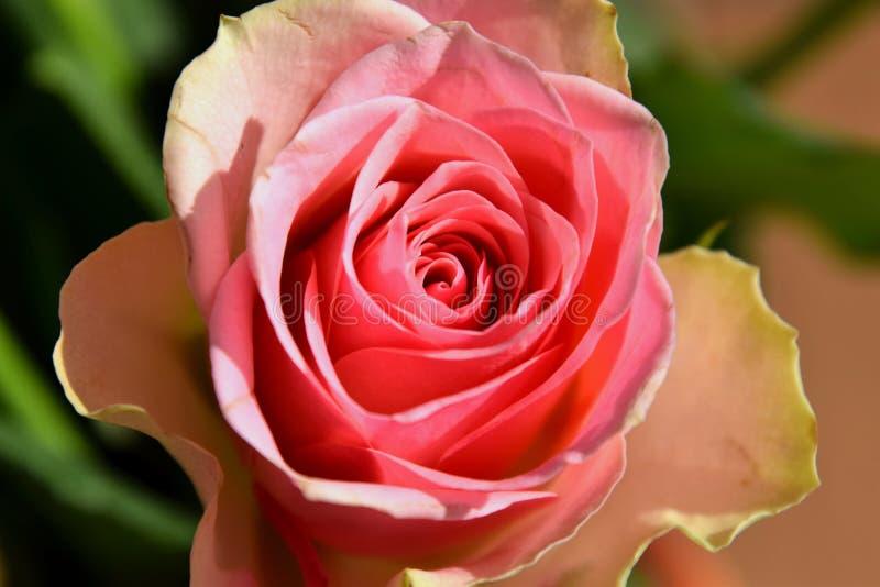 Rosa bonita do rosa foto de stock