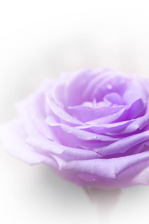 Rosa bonita do roxo fotografia de stock royalty free