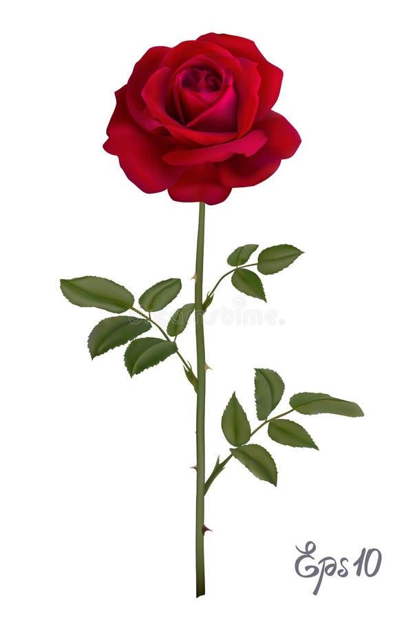 rosa bonita do vermelho isolada no fundo branco ilustração stock
