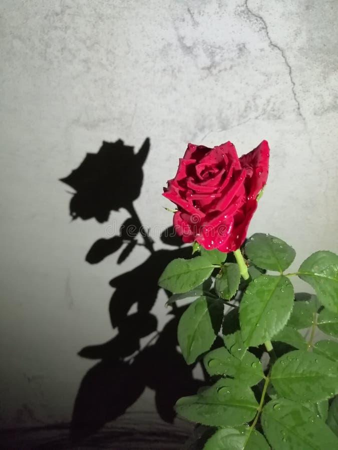 Rosa bonita em meu lugar de trabalho da casa do jardim imagem de stock