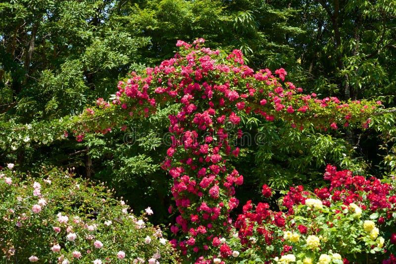 A rosa bonita floresceu no jardim fotografia de stock