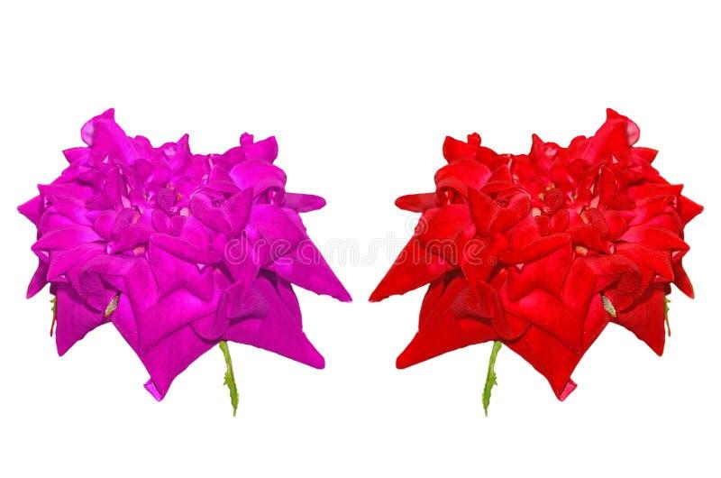 Rosa bonita isolada fotografia de stock