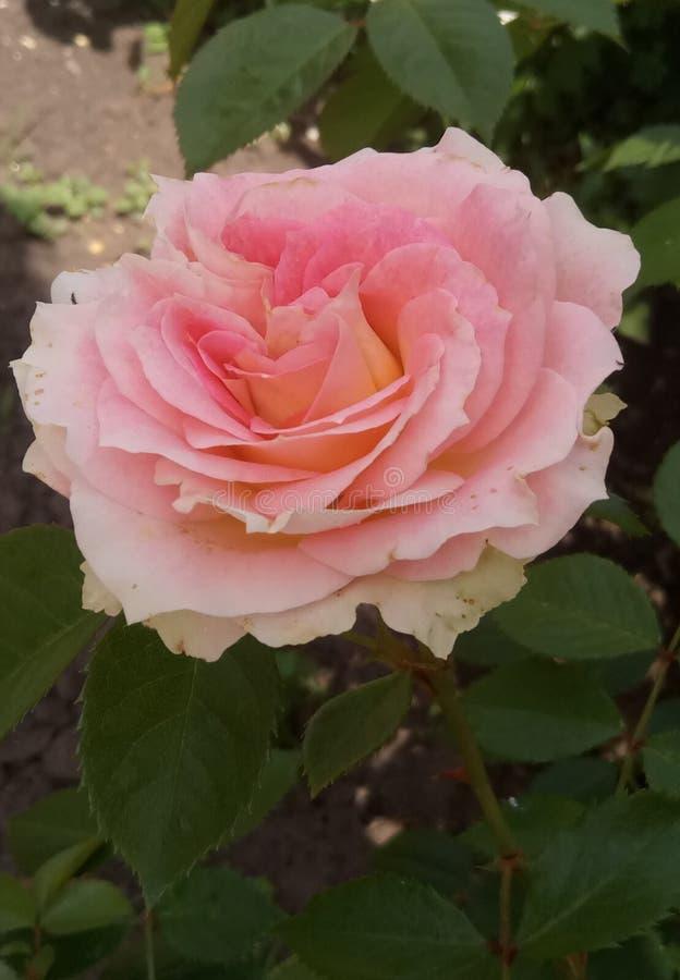 Rosa bonita no dia ensolarado do verão fotos de stock royalty free