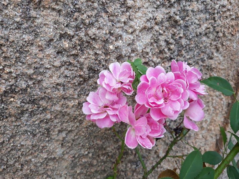 Rosa bonita no jardim nas ruas fotografia de stock royalty free