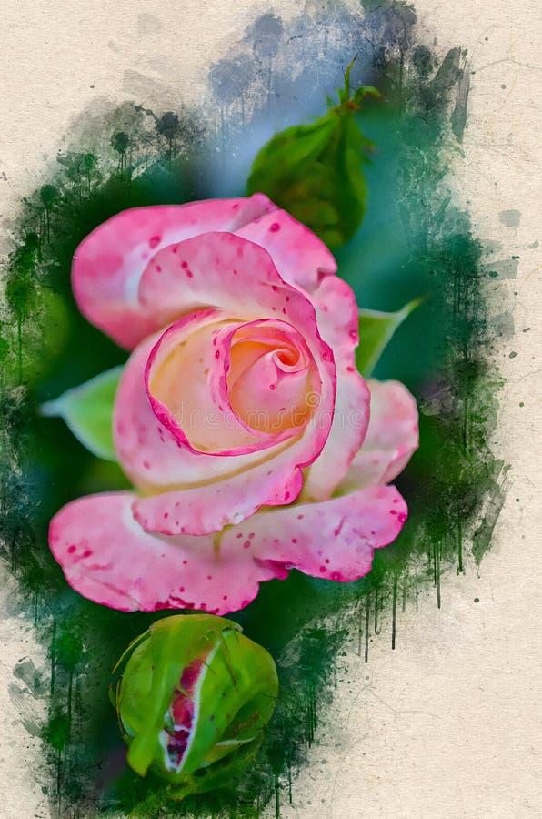 Rosa bonita pintada aquarela do rosa ilustração stock