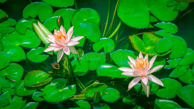 Rosa bonito Lotus Flower ou waterlily no fundo das folhas verdes fotos de stock