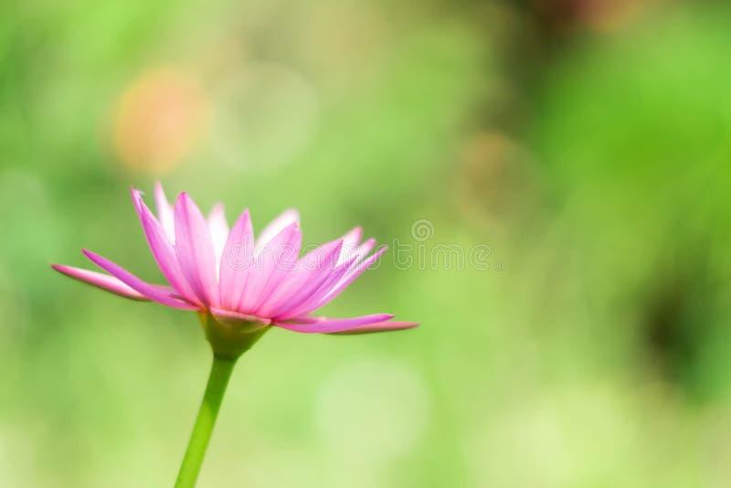Rosa bonito waterlily ou flor de lótus na lagoa fotos de stock