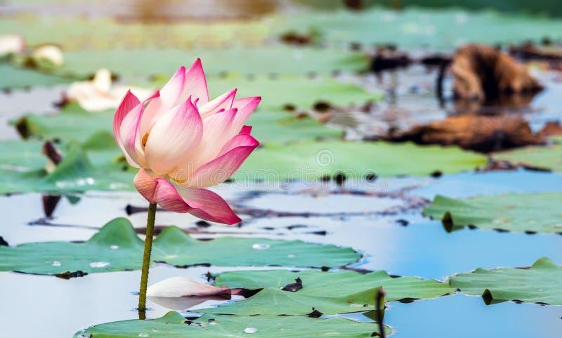 Rosa bonito waterlily ou flor de l?tus na lagoa imagens de stock royalty free