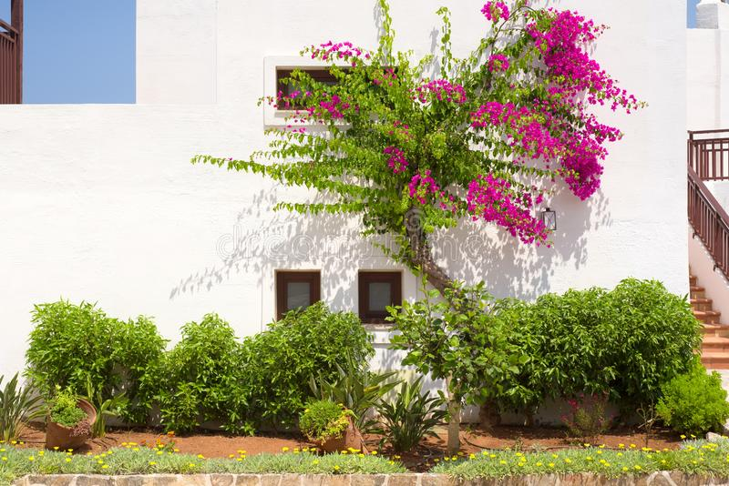 Rosa bougainvillea på en vit vägg i Grekland royaltyfri bild