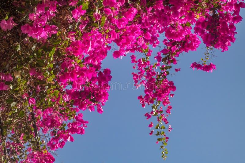 Rosa bougainvilleablommor royaltyfri bild