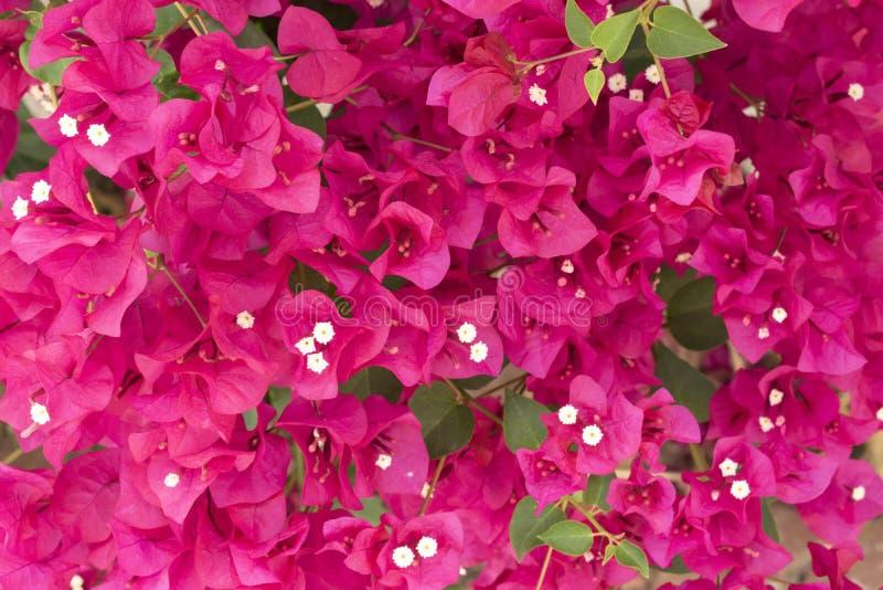 Rosa Bouganvilla Schöne bunte Mittelmeeranlage Heller Hintergrund der tropischen Blumen stockfotografie