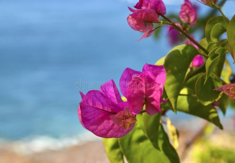 Rosa Bouganvillablumen auf einem unscharfen Ozeanstrandhintergrund Bl?hendes Bougainville stockfotografie
