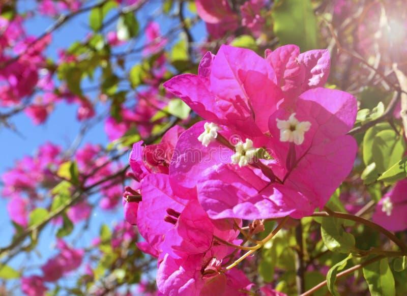 Rosa Bouganvillablumen im Park von Teneriffa auf einem sonnigen Morgen Bl?hendes Bougainville stockfotos