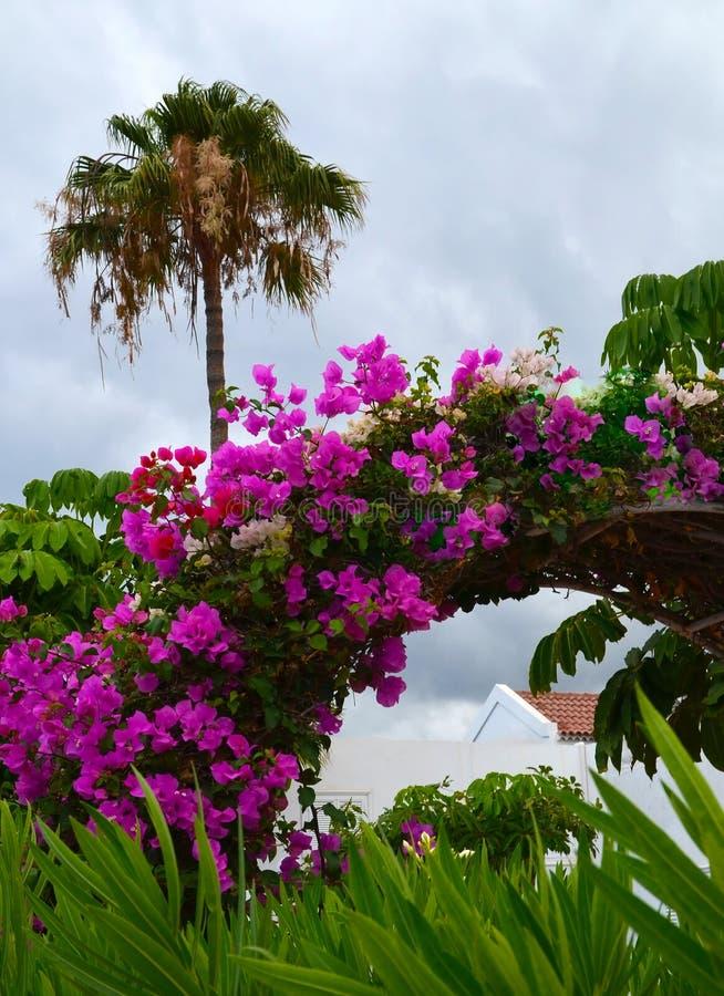 Rosa Bouganvillablumen im Park von Teneriffa Bl?hendes Bougainville stockfotografie