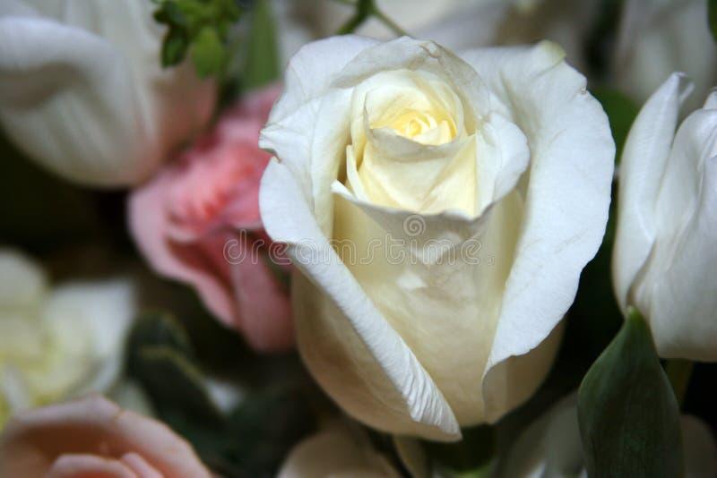Rosa branca fotografia de stock