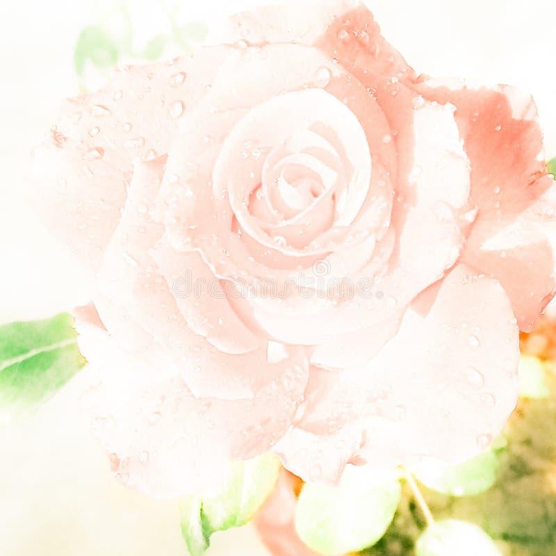 Rosa branca borrada pêssego Com gotas de ?gua ilustração royalty free