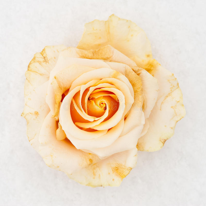 Rosa branca congelada imagem de stock