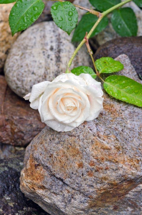 Rosa branca de creme com gotas de água imagem de stock